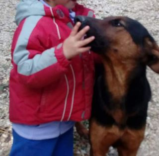 Come adottare Hubert dolcissimo incrocio dobermann  Cane incrocio dobermann  Maschio