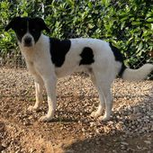 Axel cucciolone simil border collie