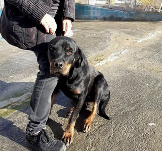 Come adottare Lilly splendida rottwiler in regalo Cane rottweiler Femmina